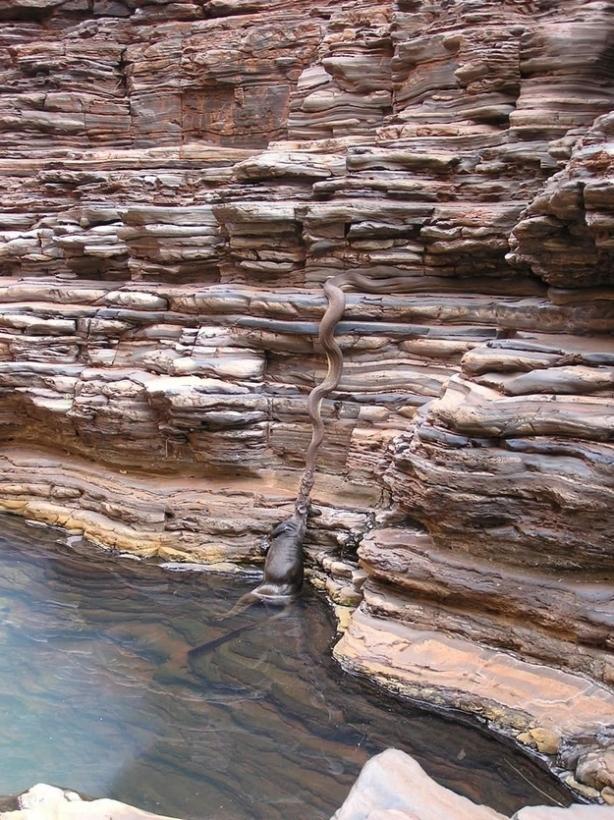 Pythons que escalam paredes...e carregam bois?