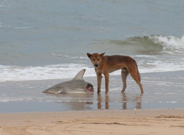 um cachorro selvagem que levou a melhor sobre um tubarão.